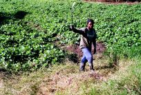 Durban's People, Julius a market gardener cuts grass on the edges of a patato crop in Merebank, Durban, South Africa.