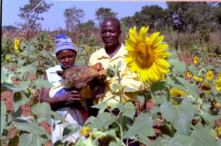 ipjr09686505 17-21 april 2005 mozambique colour negative 35mm development projects in manica province and maputo province mozambique. vasco ngomana and his wife betha, are one of the many small scale chicken farmers in manica province. sun flowers are grown for their oil and as a grain for feeding their indigenous chickens. they have also built their own home from the profits of their small enterprise. ©John Robinson/South Photographs africa afrika afrique african people third world life portrait portray feature mozambique development rural agriculture farming farmers small scale farming subsistance farming sunflowers for oil and chicken food.